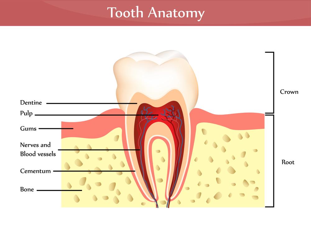 Understanding Tooth Anatomy | Livonia, MI